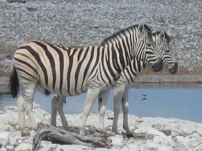 nam-zebra